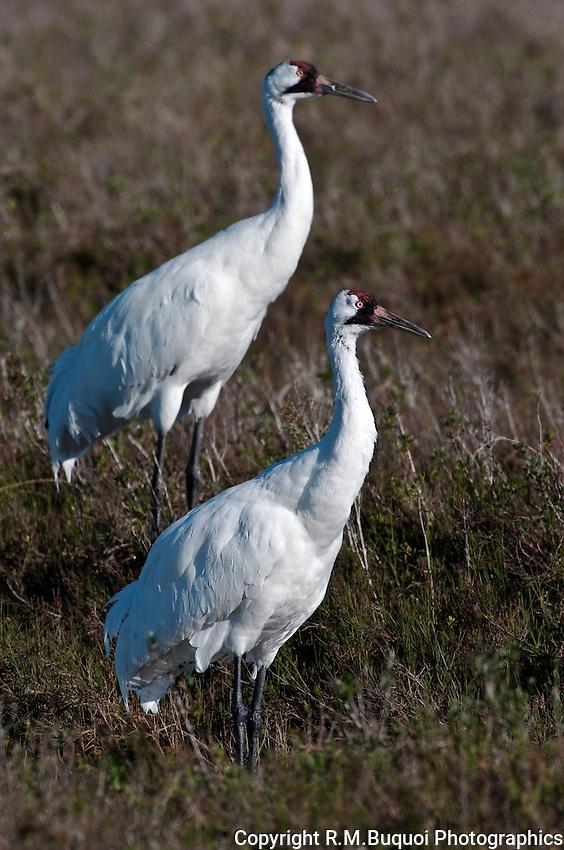 Whooping Crane Pair