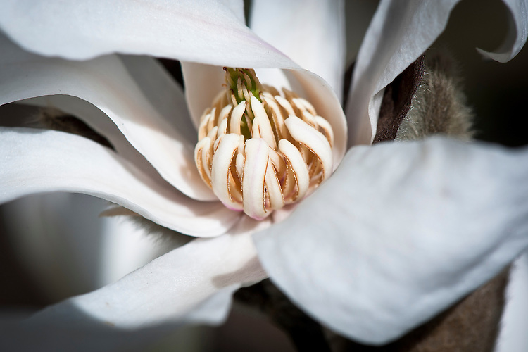 Star magnolia (Magnolia stellata 'Rosea'), late March.