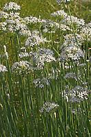 Schnitt-Knoblauch, Schnitt - Knoblauch, Allium tuberosum, Chinese Chives, Oriental Garlic
