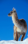 Guanaco dusted with snow standing on snowy ridge.