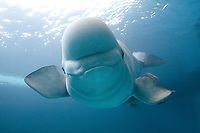 Monodontidae Delphinapterus leucas, Beluga whale (c)