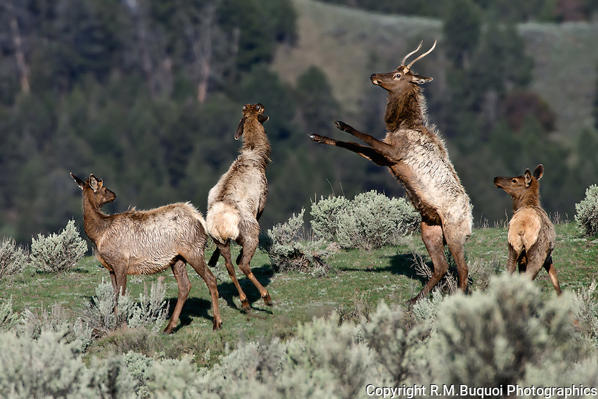 Elk Fighting