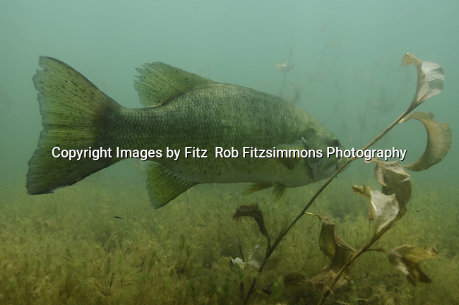Small mouth bass, (Micropterus dolomieui), smallie, bronzeback, species of freshwater fish, sunfish family, (Centrarchide), game fish, Images of a male guarding the fry. While the fry feeds on zooplankton and grows daily male small mouth relentlessly swims back and forth protecting them from predators coming in to the nesting area. This fish perfers cooler water, and is very intolerant of pollution, and is a very good natural indicator of a healthy enviroment.