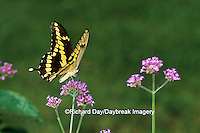 03017-00313 Giant Swallowtail (Papilio cresphontes) on Verbena Bonariensis, Marion Co.  IL