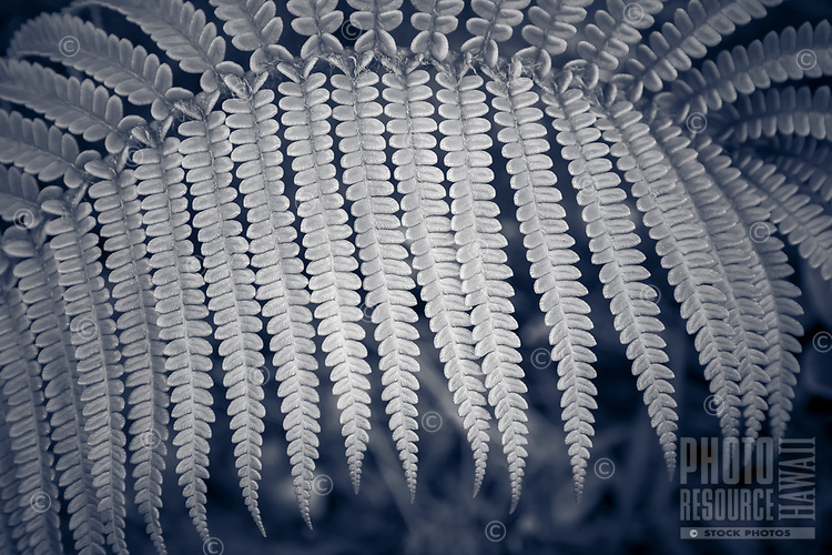 A black-and-white close-up of an 'ama'u fern frond at Hawai'i Volcanoes National Park, Big Island.