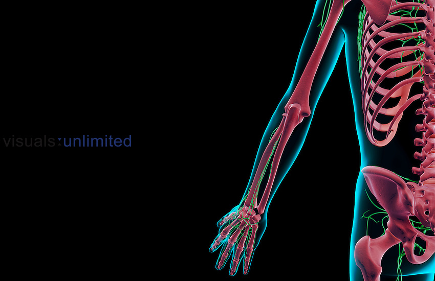 A posterior view of the lymph supply of the left upper limb. The surface anatomy of the body is semi-transparent and tinted blue. Royalty Free