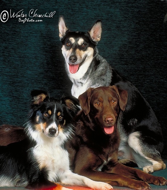 Group of big dogs, border collie, labrador retriever and a mixed breed husky Shopping cart has 3 Tabs:<br /> <br /> 1) Rights-Managed downloads for Commercial Use<br /> <br /> 2) Print sizes from wallet to 20x30<br /> <br /> 3) Merchandise items like T-shirts and refrigerator magnets
