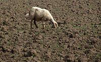 A sheep grazing in field