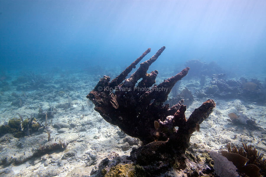 A stand of dead Elkhorn Coral seen off the coast of Belize City.