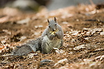 Western Gray Squirrel (Sciurus griseus) feeding on mushroom, Yosemite Valley, Sierra Nevada, Yosemite National Park, California