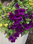 Petunia Supertunia Royal Velvet in pot