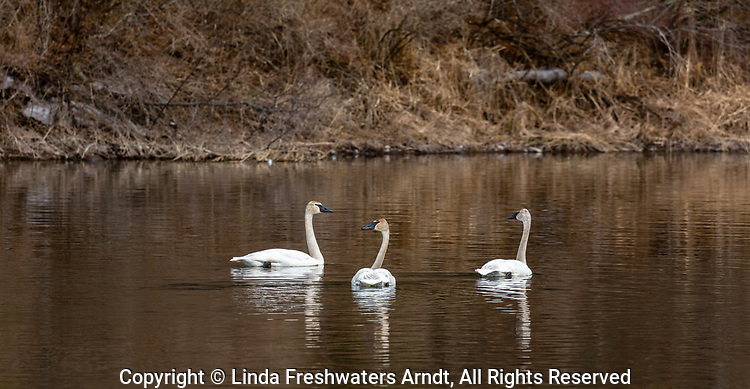 Trumpeter swans on the Chippewa River in northern Wisconsin