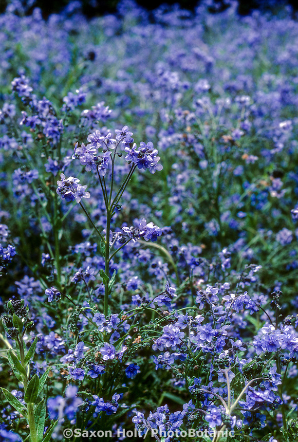 Cynoglossum amabile (Chinese Forget Me Not; Hound's Tongue), blue flower
