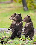 Three young grizzly bear cubs standing on hind legs. Yellowstone National Park, Wyoming.