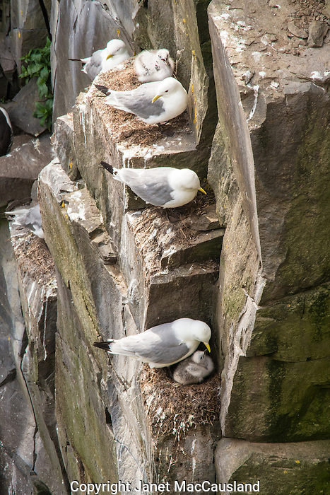 Kittiwakes come to shore only for nesting on cliffs safe from predatory Mammals.