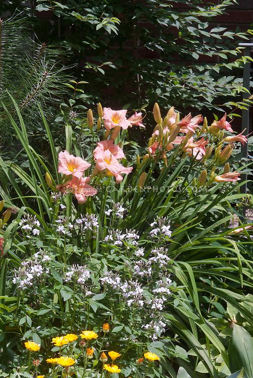 Hemerocallis Little Heavenly Angel daylilies, Cleome Senorita Blanco, Calendula Fruit Twist from seed, Hosta June, in garden planting combination use