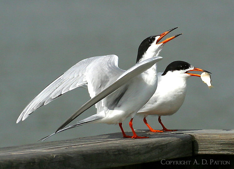 Pair of adult Forster's terns in breeding plumage. Male has just presented female with a courtship fish.