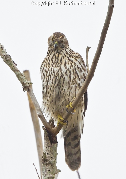 Juvenile northern goshawk perched on a snag at the Reifel Migratory Bird Sanctuary.<br />