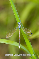 06032-001.05 Amber-winged Spreadwing (Lestes eurinus) male in wetland, Marion Co. IL