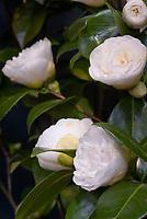 Camellia japonica 'Swan Lake' aka Monke sasquana (white