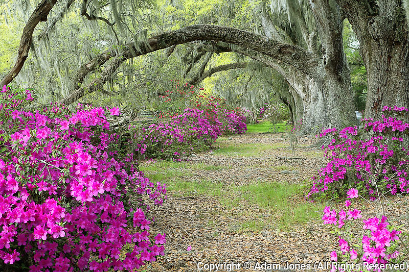Live Oak trees above azaleas in bloom, Magnolia Plantation, near Charleston, South Carolina