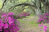 Live Oak trees above azaleas in bloom, Magnolia Plantation, near Charleston, South Carolina