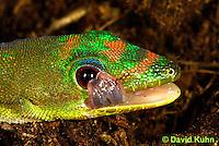 1001-0805  Gold Dust Day Gecko Cleaning Eye with Tongue, Phelsuma laticauda © David Kuhn/Dwight Kuhn Photography.