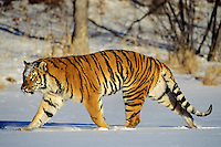 Siberian Tiger (Panthera tigris altaica) walking through snow.  Endangered Species.