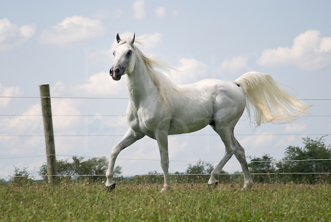 Picture of proud Arabian stallion in his summer pasture, moving along the fence line.