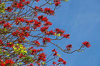 Erythrina x sykesii - red flowering Australian Coral Tree against blue sky in Leaning Pine Arboretum