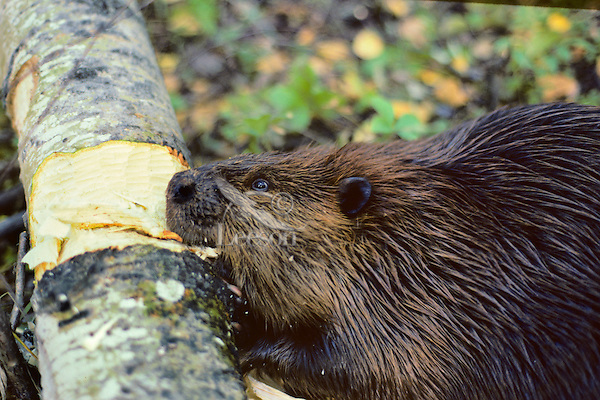 Adult beaver chewing on aspen log