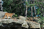 Cougar or Mountain Lion (Felis concolor) on rocky ledge, controlled situation.USA.Animal.Mammals.Wildlife.Nature.Mammals.p-mam111-43.Robert Pickett.www.papiliophotos.com  Tel: +44 (0)1227 360996.PLEASE READ OUR LICENCE TERMS. ALL DIGITAL IMAGES MUST BE DESTROYED UNLESS OTHERWISE AGREED IN WRITING..