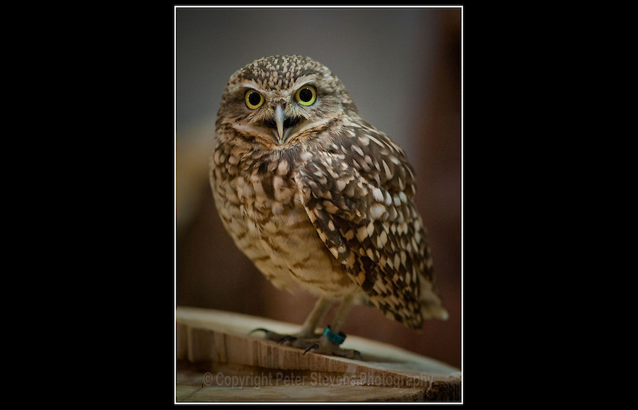 Burrowing Owl (Athene cunicularia) - Zoological Society of London - 3rd May 2010