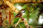 CHICKADEE - boreal chickadee, poecile hudsonicus