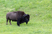 Buffalo  at Yellowstone National Park, Wyoming