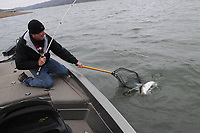 NWA Democrat-Gazette/FLIP PUTTHOFF <br /> Wiegmann nets a striped bass Feb. 24 2017 on the upstream end of Beaver Lake. His depth finder showed a school of shad in open water with stripers and white bass feeding on the shad.