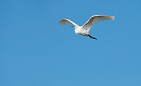 Great Egret, Ardea alba, flies over Upper Klamath Lake, near Klamath Falls, Oregon
