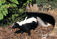 MA09-018z  Striped Skunk - in forest - Mephitis mephitis