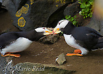 "Horned Puffins (Fratercula corniculata) mated pair ""billing"", St. Paul Island, Pribilofs, Alaska, USA"