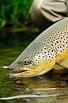 Handheld brown trout- Iceland 2013