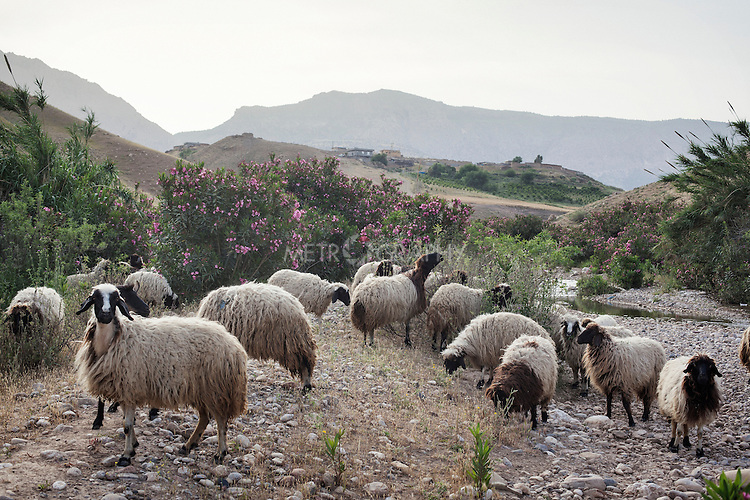 28/04/15. Awbar Village, Darbandikhan area, Iraq. -- Sheeps on the mountains that surround Awbar village.