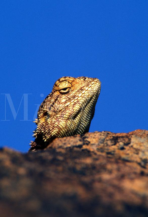 Rock Agama, Agama atra, Namibia, Africa