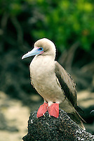 Nesting primarily in the northern outlying Islands of the Galápagos, the red-footed Booby is the smallest of all boobies. It is found in several variations of white and brown morphs, but most red-footed booby's in the Galápagos are brown.