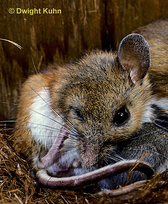 MU28-101b  White-Footed Mouse - cleaning and scratching face with young nursing -  Peromyscus leucopus