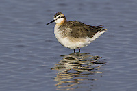 Wilson's Phalarope wading in a pond