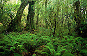 Fiordland National Park forest interior, near Lake Gunn, South Island, New Zealand.