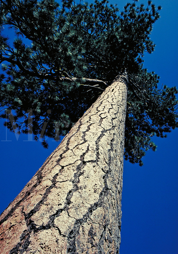 upwards view of trunk bark and crown of yellow pine tree.