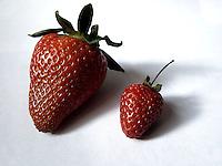BOGOTÁ-COLOMBIA-18-01-2013. Fresas de la sabana de Bogota, Colombia. Strawberries of the Bogotá, Colombia.  (Photo:VizzorImage)