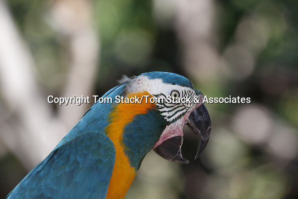An extremely rare Blue-throated Macaw, Ara glaucogularis, from north Bolivia a Critically Endangered species.