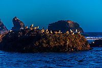 Sea birds, Bandon beach, Oregon USA.